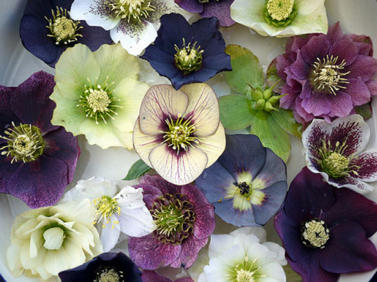 hellebore-christmas-rose-in1